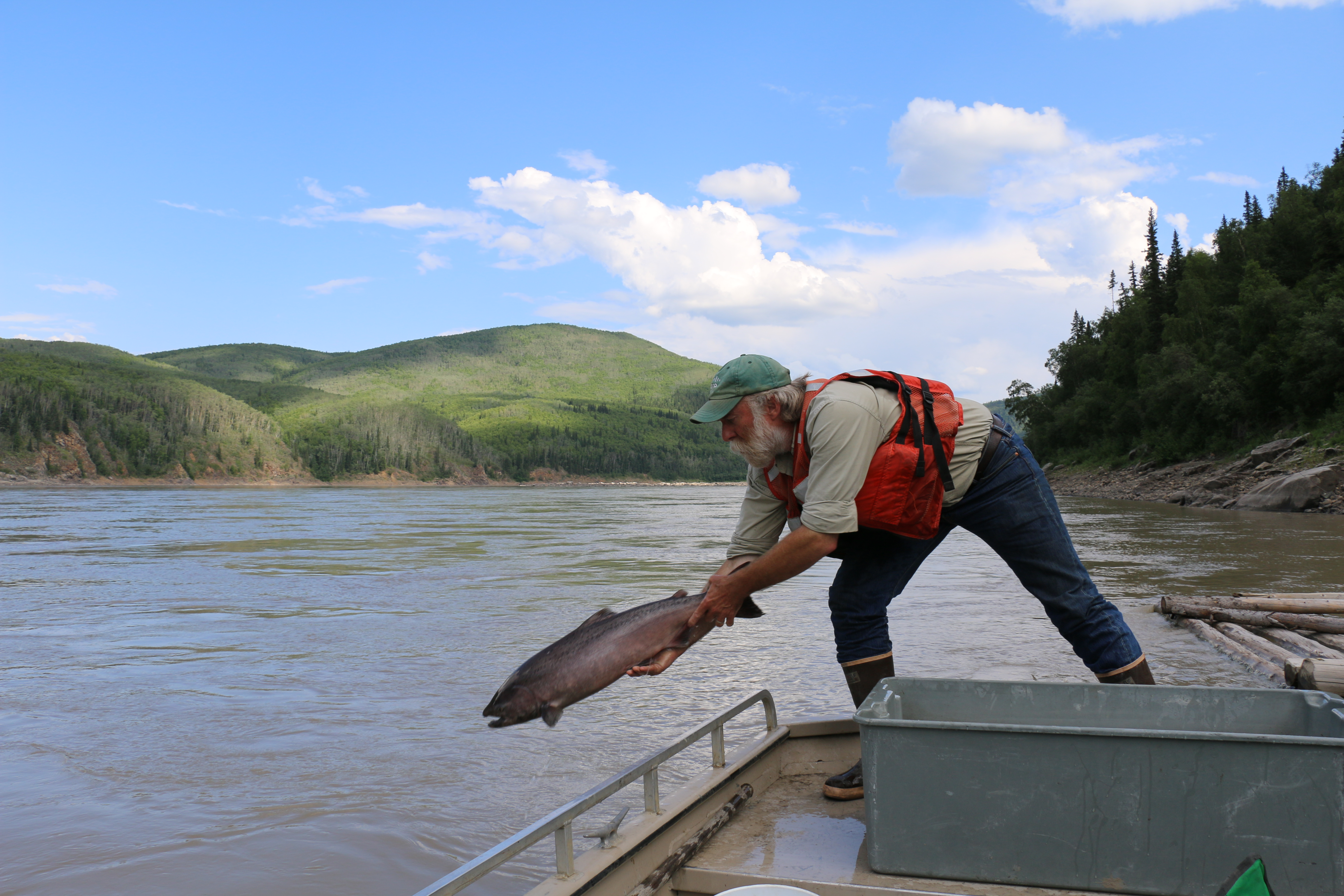 Chinook slamon being released. Photo USGS